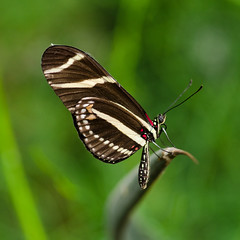 zebralongwing (qgrainne) Tags: nature butterfly zebra longwing 25faves
