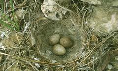 Ku Yuvas (mehmetcok1) Tags: bird nest egg eggs birdnest yuva ku yumurta