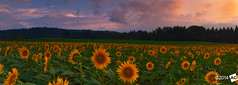 T h e F i e l d s (AnthonyGinmanPhotography) Tags: sunset panorama japan sunflowers fields niigata novoflex tsunan