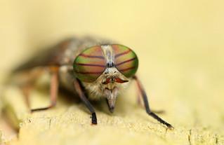 Hybomitra bimaculata, Hairy-legged Horsefly (f)