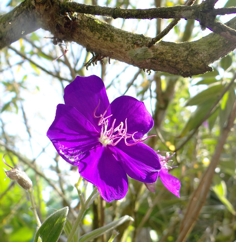 Tibouchina sp. I