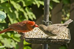 9132HOMEa (preacher43) Tags: illinois cardinal northern cowbird geneseo brownheaded henrycounty