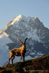 DSC_8617 (www.figedansletemps.com) Tags: mountain silhouette montagne alpes soleil rando coucher lac glacier reflet neige chamonix nuit nocturne montblanc lever randonne bouquetin voielacte aiguilleverte drus aiguillesrouges flgre chserys