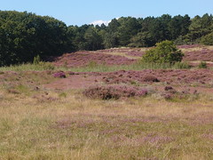20140830 003 (Walter_71) Tags: nature dune heath noordhollands duinreservaat 20140830