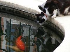DSCF8354 poes ziet lekkers (annelies_visser) Tags: fish water cat vis kefalonia poes gre fiscardo karper kefalonie