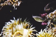 small fry (pjmuncy) Tags: fish film water analog aquarium nikon f100
