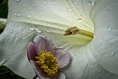 Japanese Anemone meets the Trumpet Flower (cliffhope73) Tags: toronto nikon d800 trumpetflower japaneseanemone cliffhope discoveron cliffhopeca