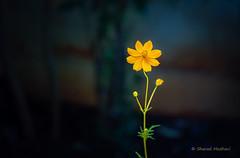 A happy Cosmos  (Canon 5D Mark III, EF 100mm L Macro) (Sharad Medhavi) Tags: orange india flower color contrast bangalore 13 cosmos pune explored canoneos5dmarkiii canonef100mmf28lisusmmacrolens