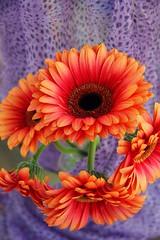 Daisies (Across & Down) Tags: flowers daisies orangegerbera