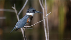 Belted Kingfisher 5 (Chris Lue Shing) Tags: summer ontario canada tree bird nature aurora newmarket beltedkingfisher mckenziemarsh nokiidaatrail nikond7100 chrislueshing tamronsp150600mmf563divcusd