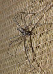Deinopidae>Deinopis subrufa Net Casting Spider Male DSCF3557 (Bill & Mark Bell) Tags: exmouth westernaustralia australia geo:town=exmouth geo:state=westernaustralia geo:country=australia geo:lon=11425453egeolat2217752sgeoalt8m 11425453e2217752salt8m taxonomy:kingdom=animalia animalia taxonomy:phylum=arthropoda arthropoda taxonomy:class=arachnida arachnida taxonomy:order=araneae araneae taxonomy:family=deinopidae deinopidae taxonomy:genus=deinopis deinopis taxonomybinomialnamedeinopsissubrufa deinopsissubrufa taxonomycommonnamenetcastingspider netcastingspider male subrufa spider