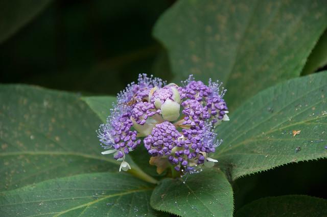 玉紫陽花 (たまあじさい)