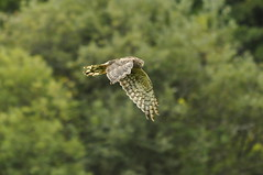 _DSC0819 (Putneypics) Tags: vermont hawk harrier putney northernharrier marshhawk circuscyaneus putneypics