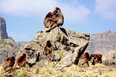 Geladas - Simien Mountains (estenard) Tags: mountains monkey ethiopia gelada simien theropithecusgelada