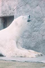 Relaxing (Takinosuke Ara) Tags: zoo polarbear ef100400mmf4556lisusm yagiyama eos1dx