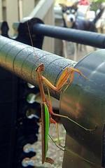 2014_September18 Layla and the Mantis  261/365 (aflowergirl) Tags: prayingmantis huskador