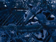 Melancolía (adriana.oneto93) Tags: animal tristeza selva perú soledad destino melancolía cautiverio realidad cárcel mercadonegro crueldad resignación noeselúnico víctimasinvisibles