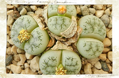 Lithops werneri, C 188. (Succulents Love by Pasquale Ruocco (stabiae)) Tags: lithops mesembryanthemum namibia mimicry succulents stabiae mimetismo aizoaceae succulente mesembryanthemaceae werneri cactusco mesembs floweringstones sassifioriti pasqualeruocco mesembryanthema succulentslove
