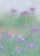 September 28, 2014 (Christine & Eric Mahler) Tags: plant flower green fall garden outdoors purple alyssum groundcover