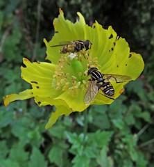 Still Hovering (Bricheno) Tags: park flowers macro insect scotland insects escocia szkocja hoverfly schottland dumfries dumfriesgalloway scozia hoverflies cosse  esccia   bricheno castledykespark scoia