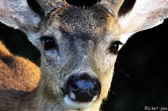 2015-06-16 Columbian Black-tailed Deer (02) (1024x680) (-jon) Tags: anacortes capsante skagitcounty washingtonstate salishsea fidalgoisland sanjuanislands pugetsound columbianblacktaileddeer odocoileushemionuscolumbianus buck male antler velvet a266122photographyproduction eyes nose closeup eyelashes head whiskers muledeer deer blacktail blacktaildeer columbianblacktaildeer columbianblacktail columbian 1380156 17427