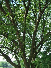 Chinese Elm (ConanTheLibrarian) Tags: plant tree green leaves outdoor branches bark trunk trunks elm chineseelm ulmusparvifolia lacebarkelm