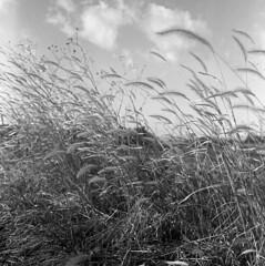 Untitled (odeleapple) Tags: mamiya c330 mamiyasekor 65mm neopan100acros film monochrome bw weed dry