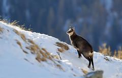 Camosci4 (Lunghefocali.snc) Tags: camoscio rupicaprarupicapra dolomiti valdifiemme trentino altamontagna biancoenero wildlife nature