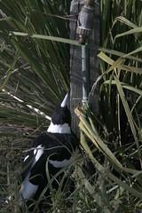 Magpie at Bradleys Head (Corinneski) Tags: magpie bird australianbird watertap sydney bradleyshead newsouthwales australia