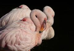 Flamingos in Avifauna (joeke pieters) Tags: 1300840 panasonicdmcfz150 flamingo avifauna vogel bird ngc npc coth5 platinumheartaward