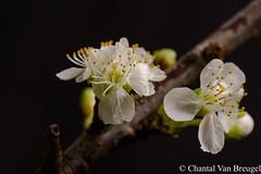 Kersenbloesem (Chantal van Breugel) Tags: bloemen macro kersenbloesem canon5dmark111 canon100mm c