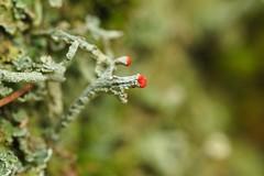 red tip (michaelmueller410) Tags: lichen moss wald harz winter rot spitze dof macro makro tiny green february forest woods dot red spores