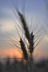 Colori dell'estate (paolo bonfanti) Tags: sole terra rosso grano spighe