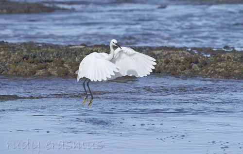 Little  Egret wings forward_2332