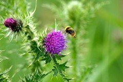 Nectar Gather (Rovers number 9) Tags: june spring thistle sony lancashire bee a77 2014 rspbleightonmoss sonya77 june2014