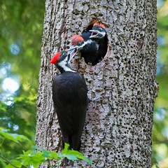 Pileated Woodpecker and family (nickinthegarden) Tags: pileatedwoodpecker