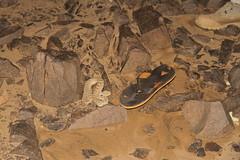 IMG_8360 (Ash Bhardwaj) Tags: africa desert snake sudan camels sidewinders bayuda levwood levisonwood walkingthenile