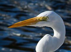 Eyes of a Egret (Denzil D) Tags: gulfofmexico water birds canon florida birdwatching atlanticocean floridakeys wifescamera bridgefishing