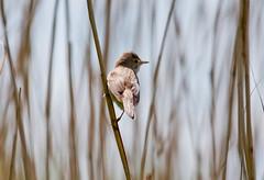 reed warbler (hilder86) Tags: bird reed birds nikon