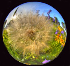 Just For Fun (Phyllis74) Tags: weed indiana dandelion fisheye southernindiana clarksville fallsoftheohiostatepark
