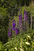 Delphinium and (Scott Weber PDX) Tags: summer germantown gardens oregon garden portland bruce wakefield delphinium