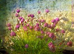 Chives Talking (sbox) Tags: painterly art digital garden painting gardening textures chives beegees jivetalkin jivetalking kerstinfrank