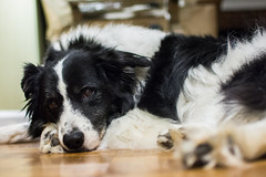 Day 186: Someone is tired (farkasbrain) Tags: pets dogs 35mm nikon tired 365 bordercollie d7100