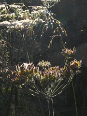 efwr (the incredible how (intermitten.t)) Tags: light morninglight raindrops hogweed 23955 earlysun efrw 20140708