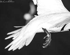 Even Angels have some Dinosaur in the Family (Billy Clapham) Tags: sea summer blackandwhite white black bird nature birds angel fly flying dinosaur wildlife yorkshire feather cliffs 70300mm seabird gannet spectacle rspb nikond3200 seabirdcolony bemptoncliffs wildlifephotography 70300mmvr gannetinflight billyclapham