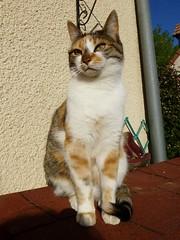 Bambou prend la pose au soleil (valkiribocou) Tags: sun cat garden kat chat outdoor jardin bamboo gato april avril extrieur