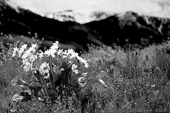 Black& White Wildflowers (Tom's Macro and Nature Photographs) Tags: mountains montana wildflowers naturephotography lupines arrowleafbalsamroot