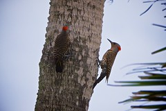 Northern Flicker - Woodpecker (Chasing Photons) Tags: bird nature birds orlando natural florida wildlife charles wait centralflorida northernflicker colaptesauratus realflorida merrittislandnwr cewait chasingphotons
