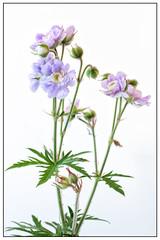 173/365 Summer skies. (Nigel Andrews) Tags: flowers flower macro canon 365 hardygeranium project365 summerskies 365project doublegeranium canoneos70d