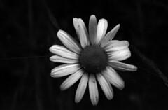 Daisie in coffee (Jonas.Nilsson) Tags: blackandwhite bw flower macro film canon kodak a1 tmax100 fd ccm filmphotography caffenol classicblackwhite